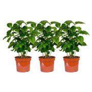 Plantas de Café